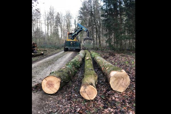Würenlinger Wald -  Fällarbeit Eichen - Dezember 2018